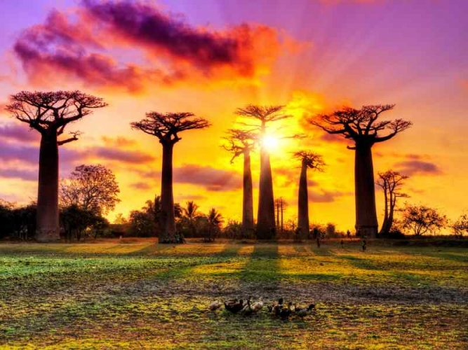 The Avenue of the Baobabs in Madagascar. Source: [Dennis Van De Water]©123RF.com